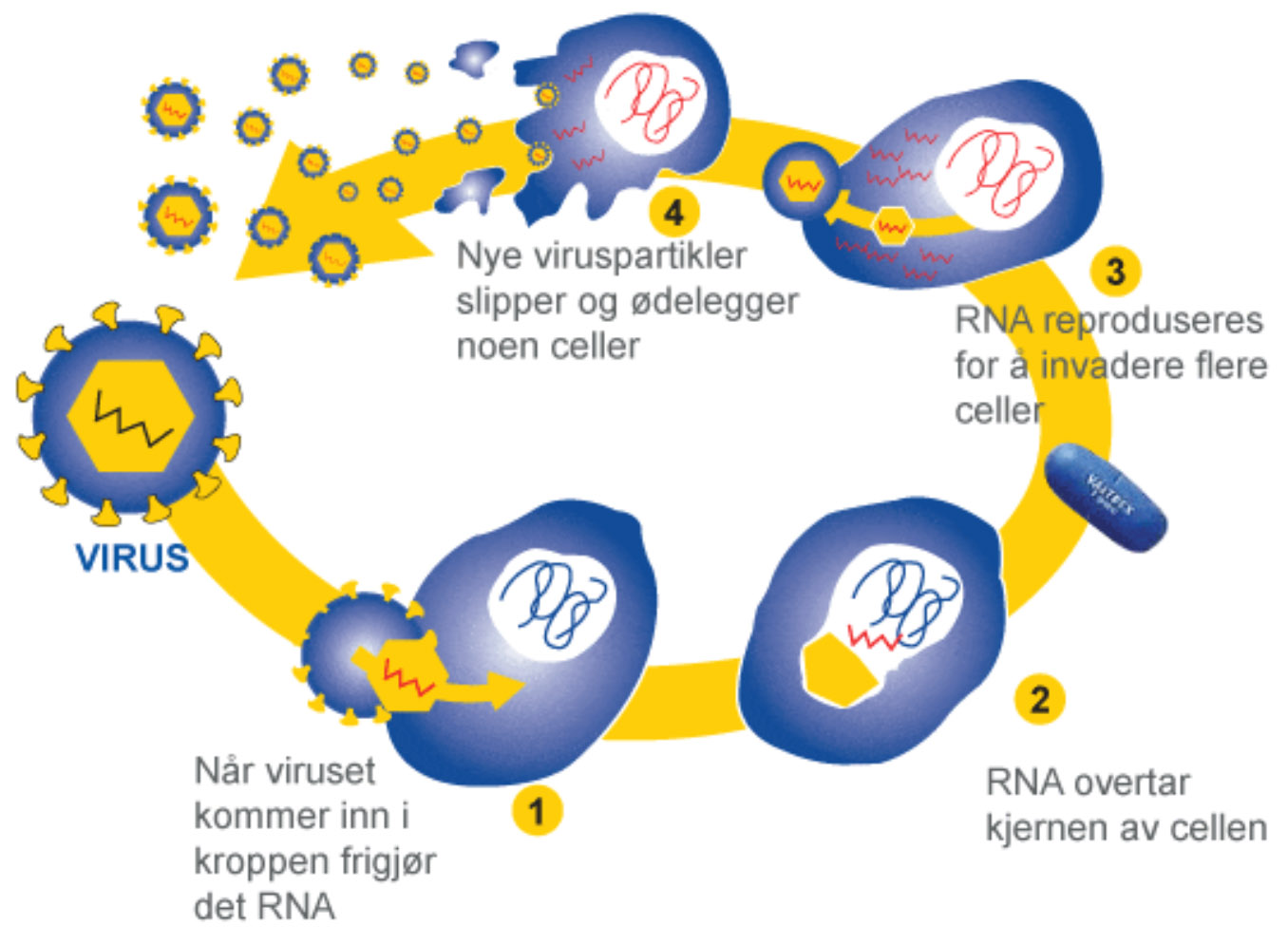 Hvordan infiserer SARS-CoV-2 kroppen? 1